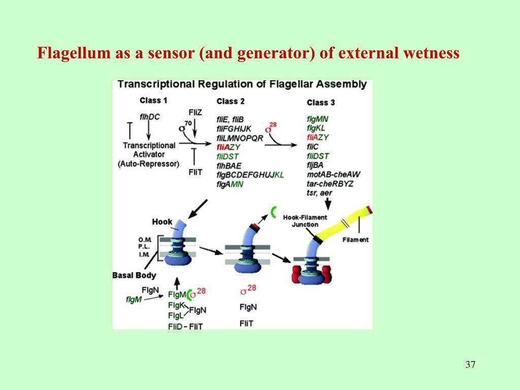 Flagellum as a sensor (and generator) of external wetness