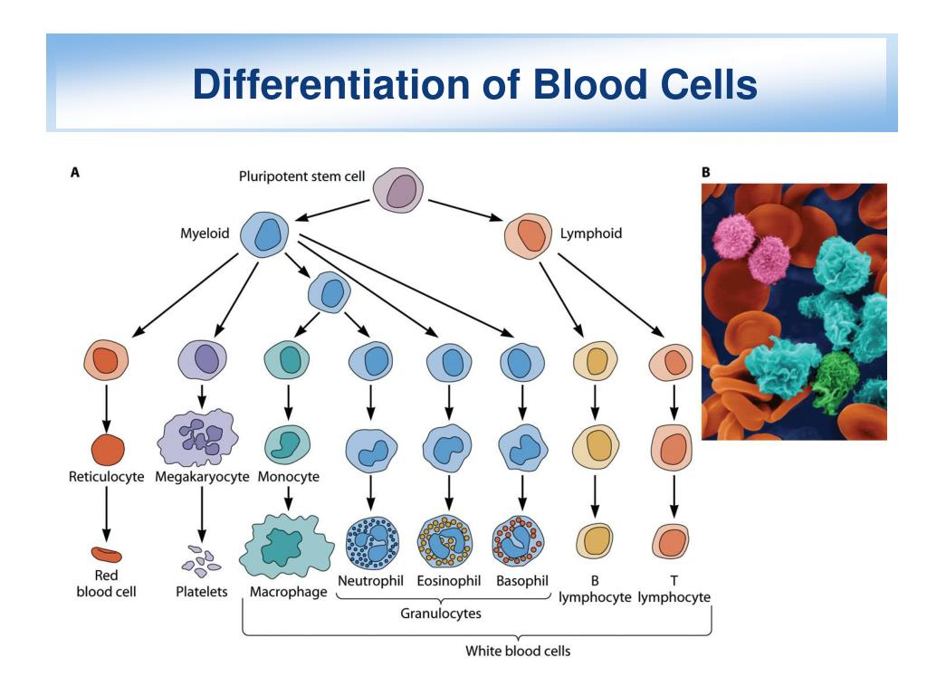 Differentiation of Blood Cells