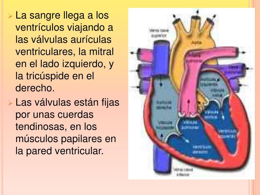 La sangre llega a los ventrículos viajando a las válvulas aurículas ventriculares, la mitral en el lado izquierdo, y la tricúspide en el derecho.