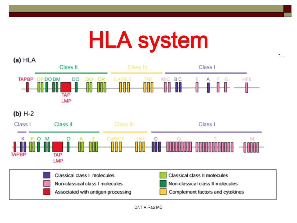 HLA system