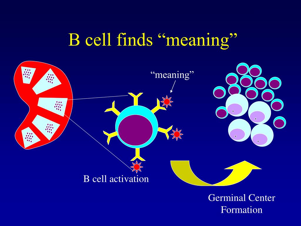 B Cell Activation Germinal Center PPT - Lymphoma ...