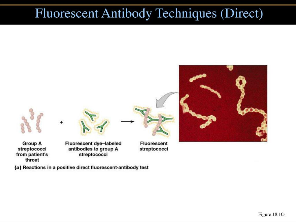 Fluorescent Antibody Techniques (Direct)