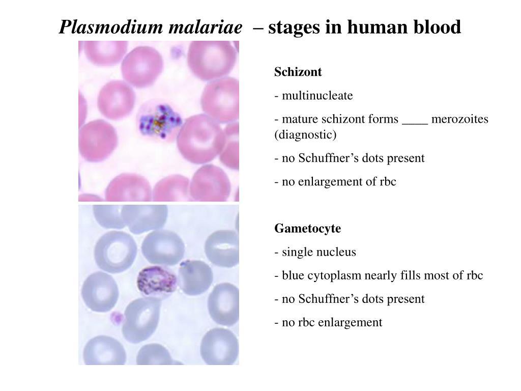 Plasmodium malariae  –
