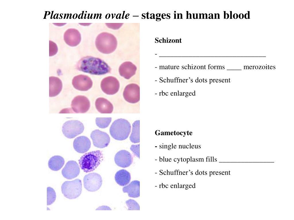 Plasmodium ovale –