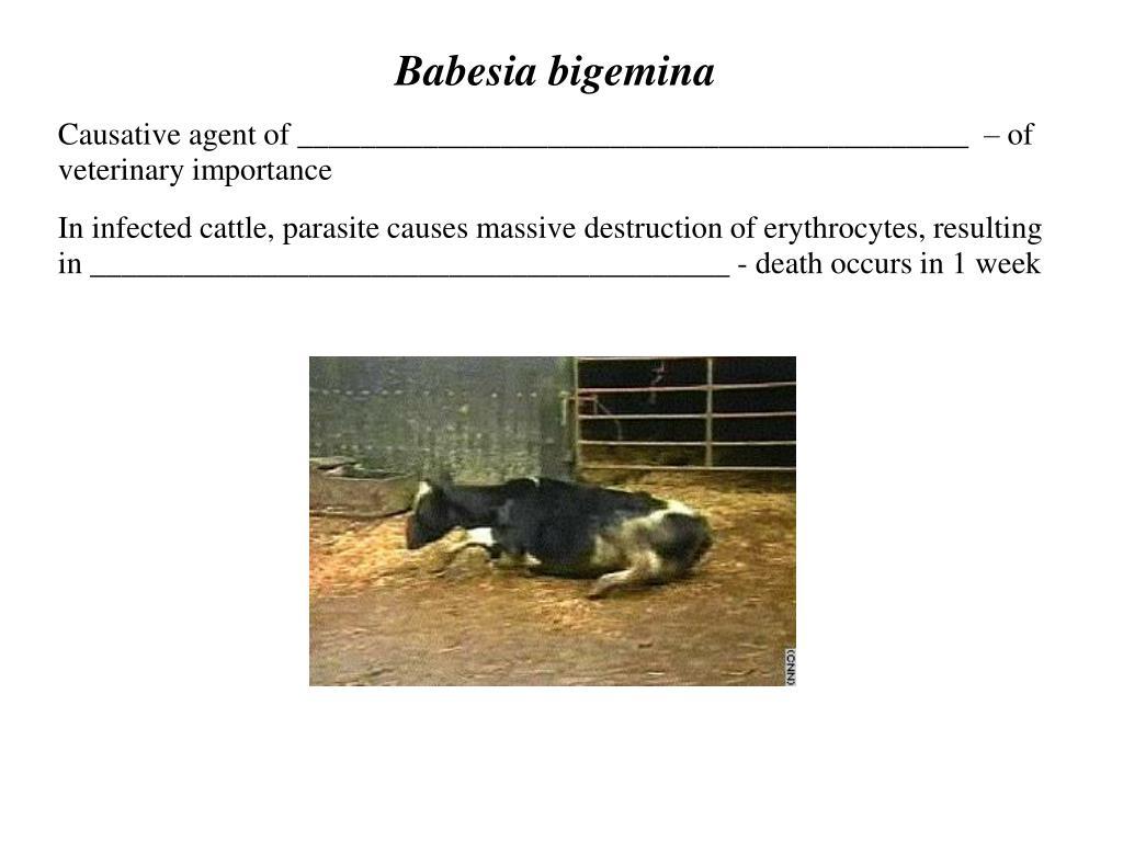 Babesia bigemina