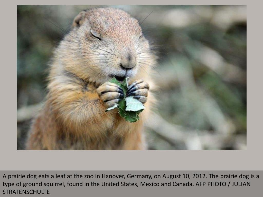 A prairie dog eats a leaf at the zoo in Hanover, Germany, on August 10, 2012. The prairie dog is a type of ground squirrel, found in the United States, Mexico and Canada. AFP PHOTO / JULIAN STRATENSCHULTE