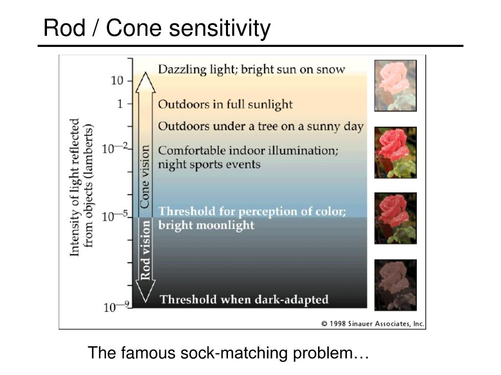 Rod / Cone sensitivity