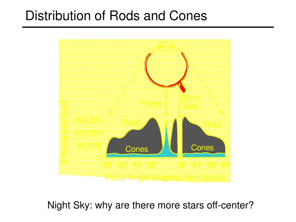 Distribution of Rods and Cones