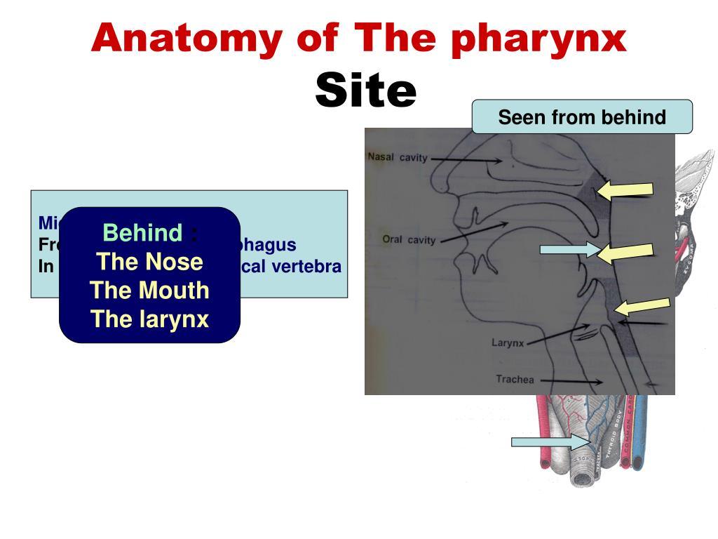 Larynx anatomy ppt