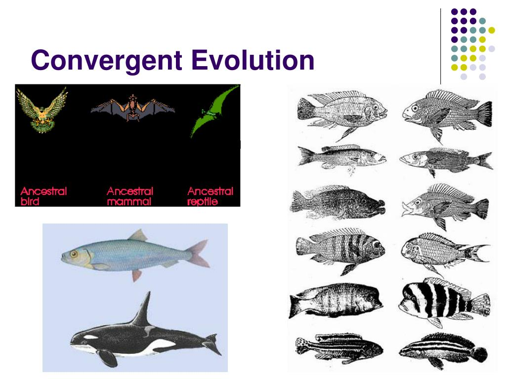convergent and divergent evolution ppt darwin vs lamarck ...