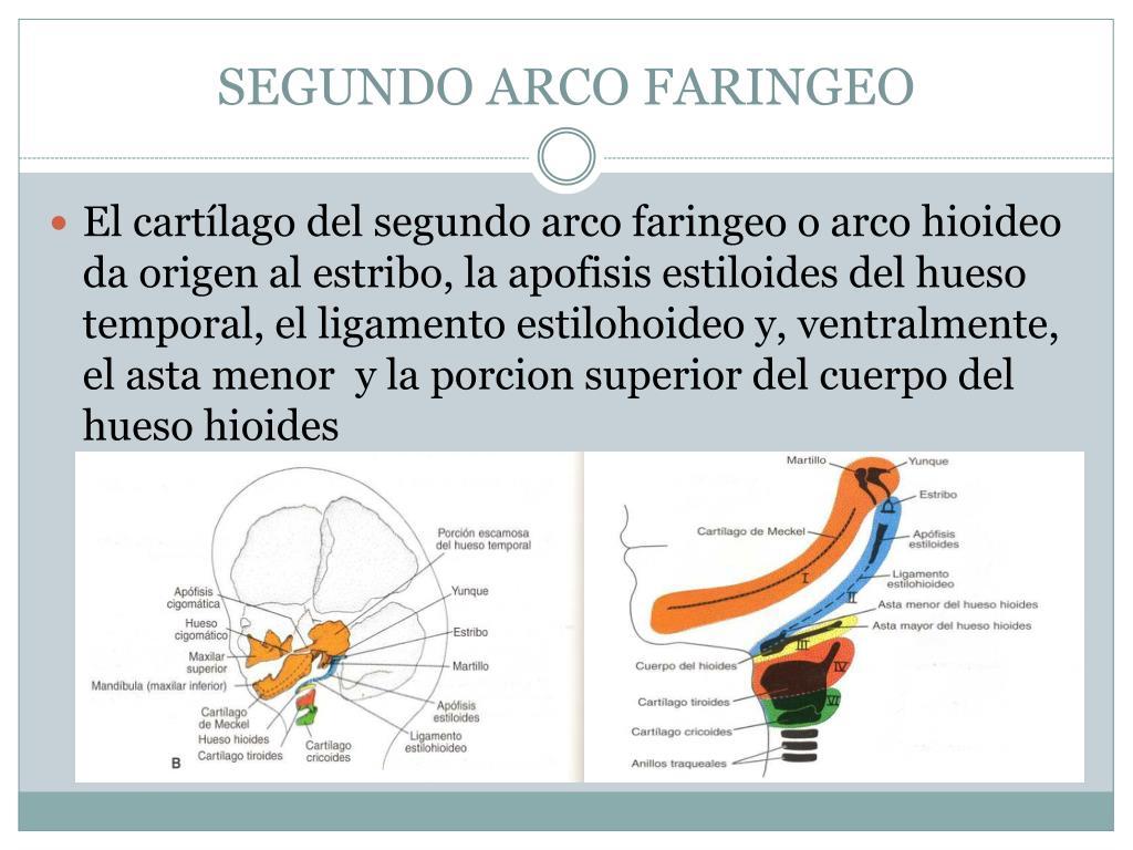 SEGUNDO ARCO FARINGEO