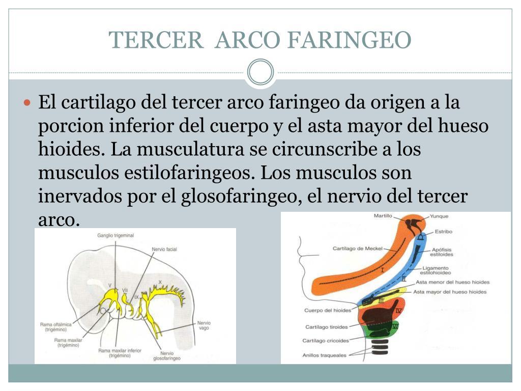 TERCER  ARCO FARINGEO
