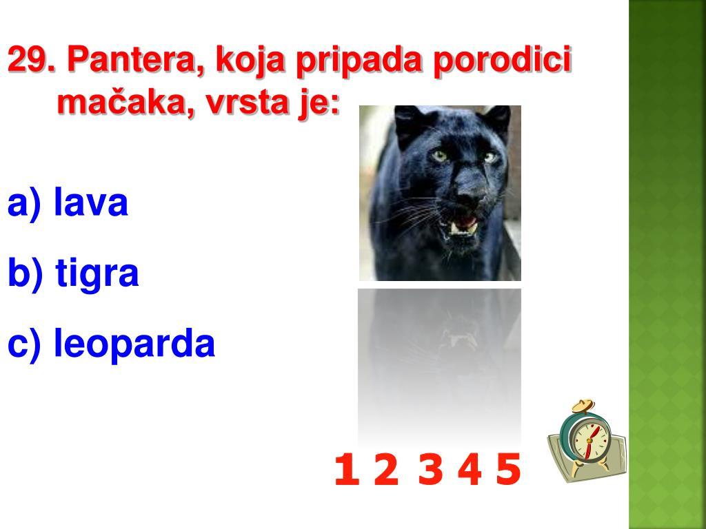 29. Pantera, koja pripada porodici