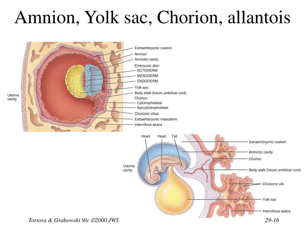 Amnion, Yolk sac, Chorion, allantois