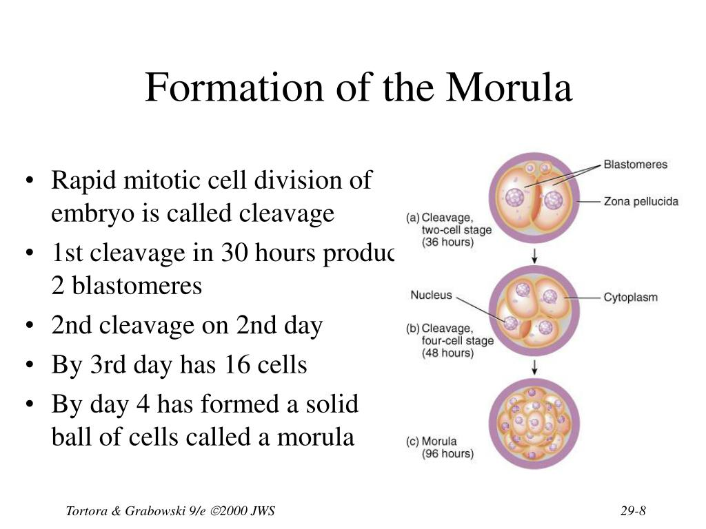 Formation of the Morula