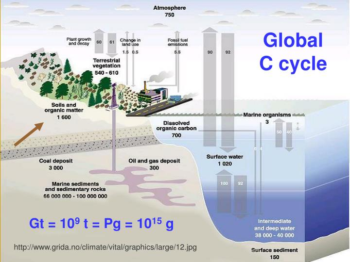 Global    C cycle