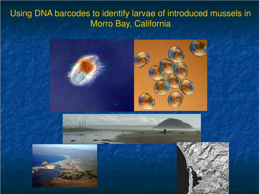 Using DNA barcodes to identify larvae of introduced mussels in Morro Bay, California
