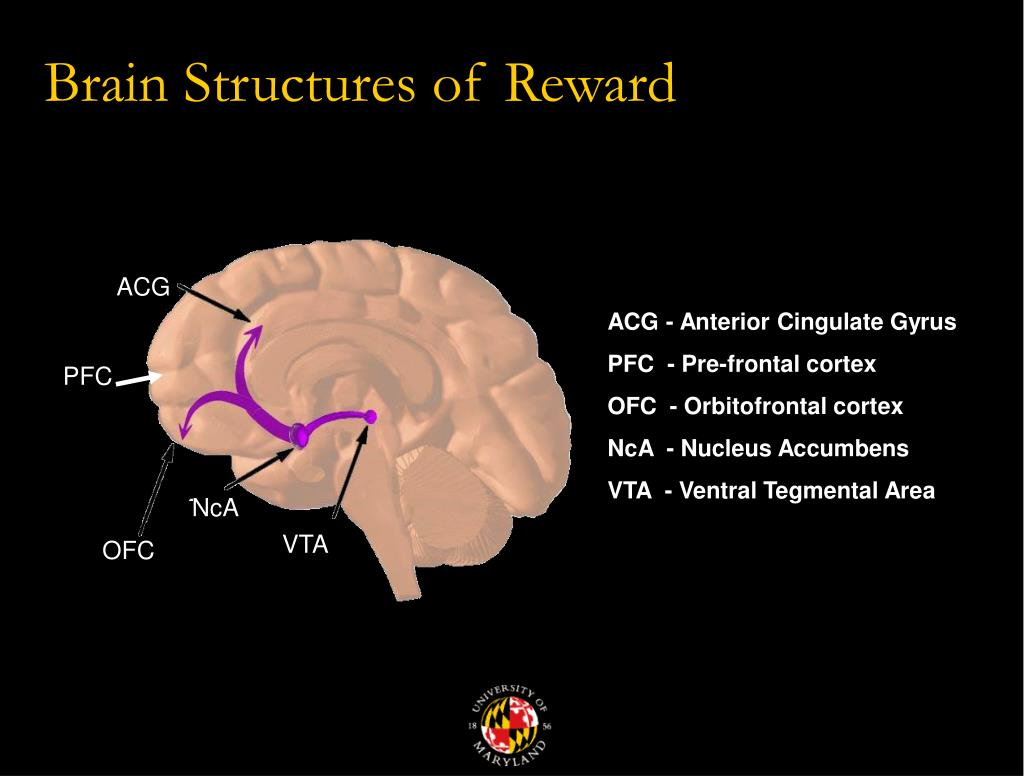 addiction and the reward circuit essay Addiction is a brain disorder characterized by compulsive engagement in  rewarding stimuli  41 summary of addiction-related plasticity 42 reward  system  the reward pathway, known as the mesolimbic pathway, or its  extension, the.