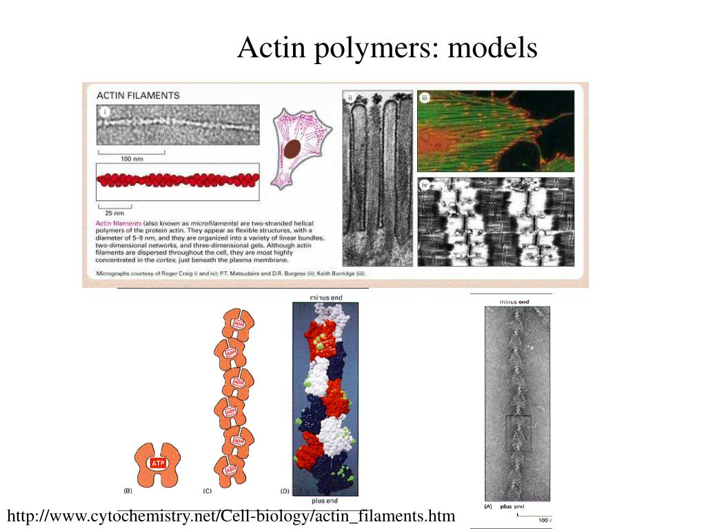 Actin polymers: models