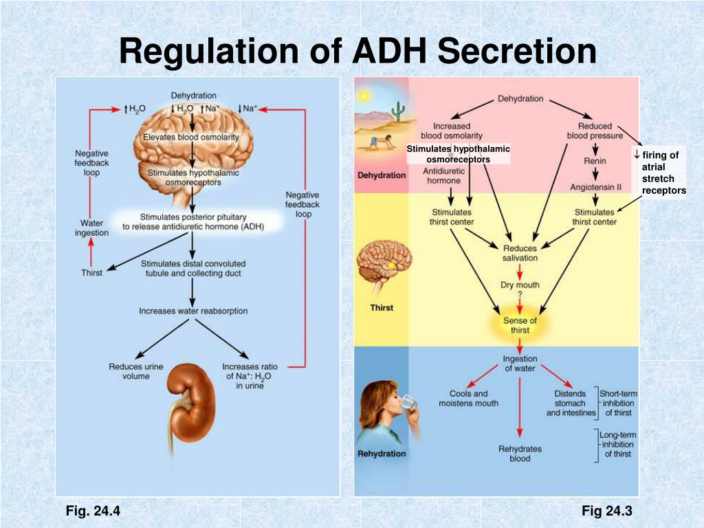 does adh favor the formation of dilute or concentrated urine Name: m ridho dwi saputra exercise 9: does adh favor the formation of dilute or concentrated urine explain why if adh is not available, can the urine concentration still vary explain your answer you did not answer this question 8.