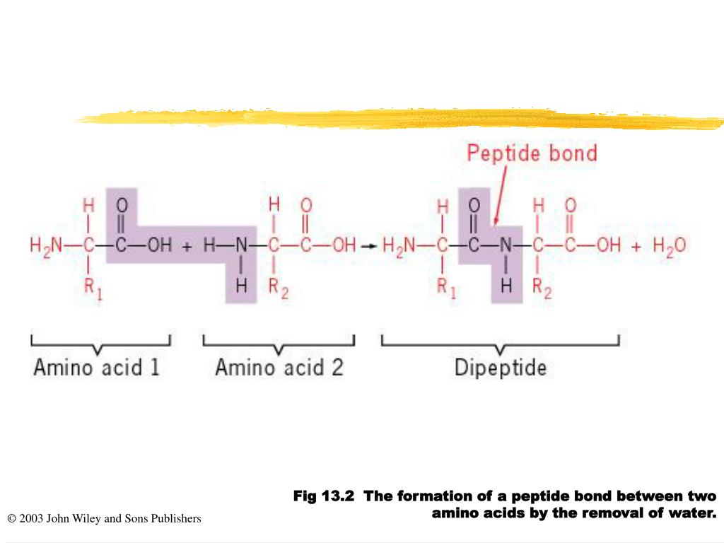 Fig 13.2  The formation of a peptide bond between two amino acids by the removal of water.