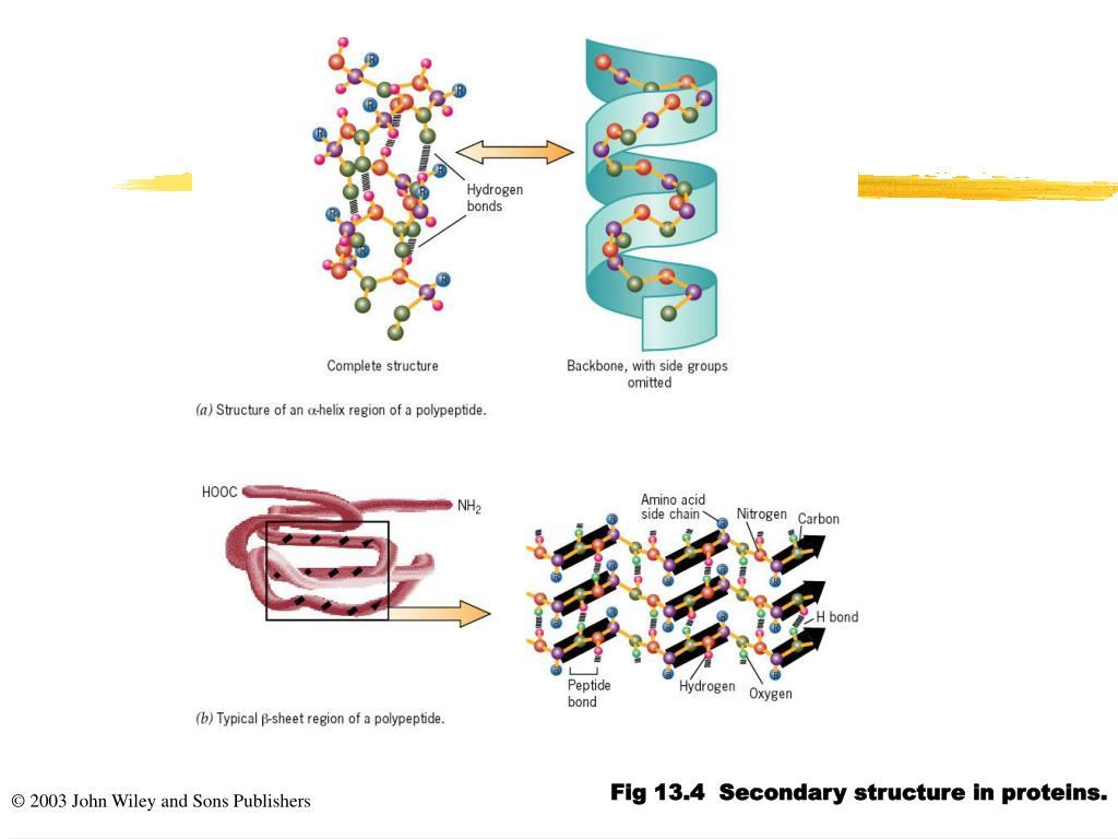 Fig 13.4  Secondary structure in proteins.
