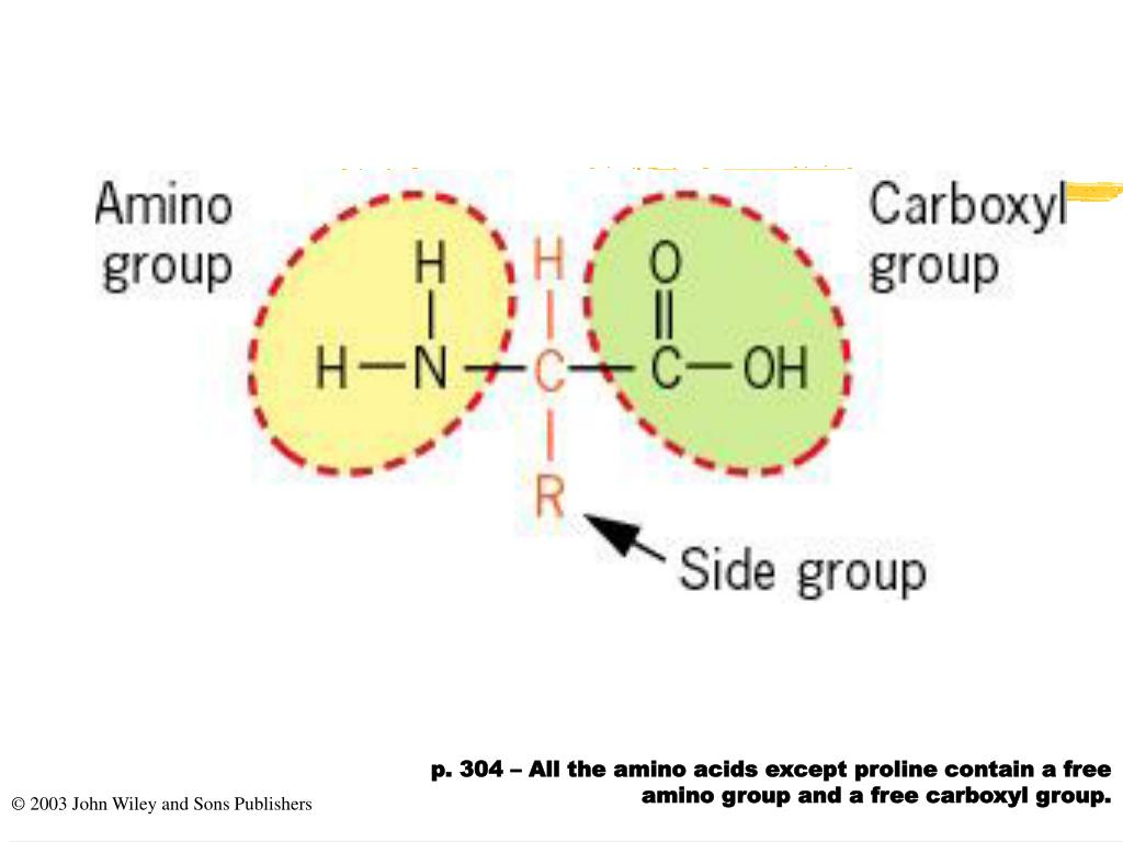 p. 304 – All the amino acids except proline contain a free amino group and a free carboxyl group.