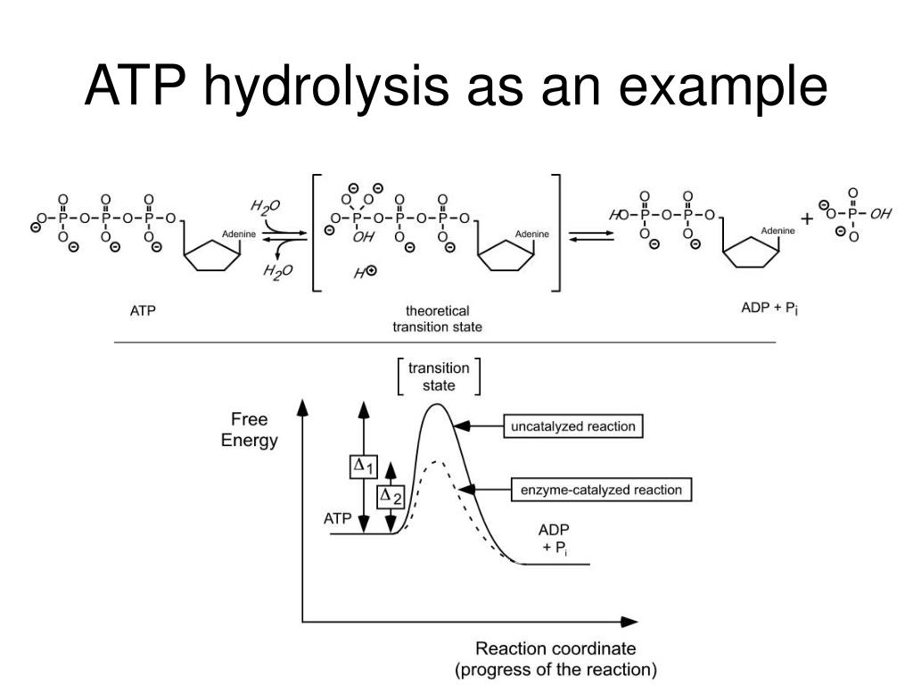 ATP hydrolysis as an example