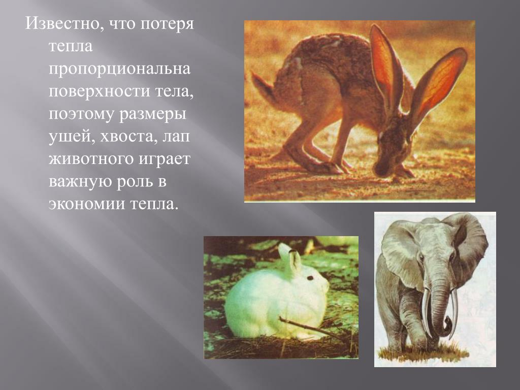 Известно, что потеря тепла пропорциональна поверхности тела, поэтому размеры ушей, хвоста, лап животного играет важную роль в экономии тепла.