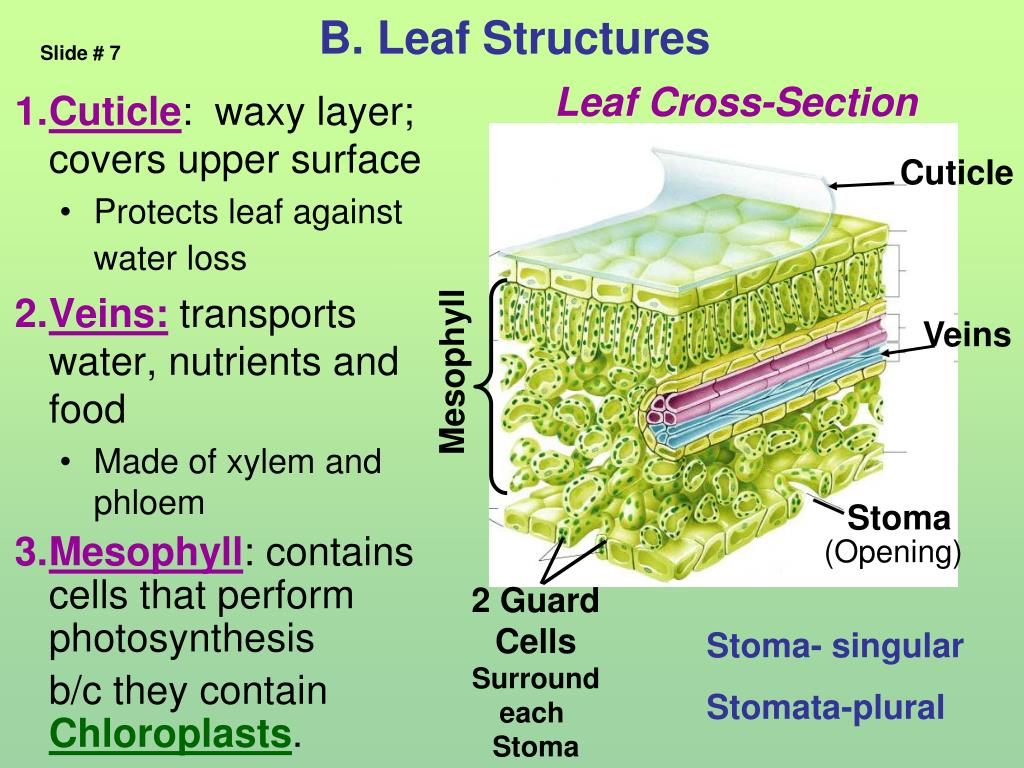 B. Leaf Structures