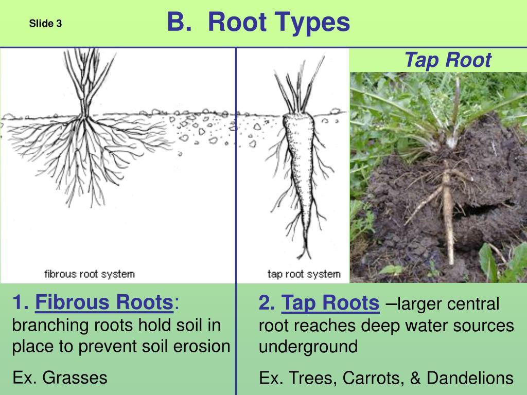 B.  Root Types