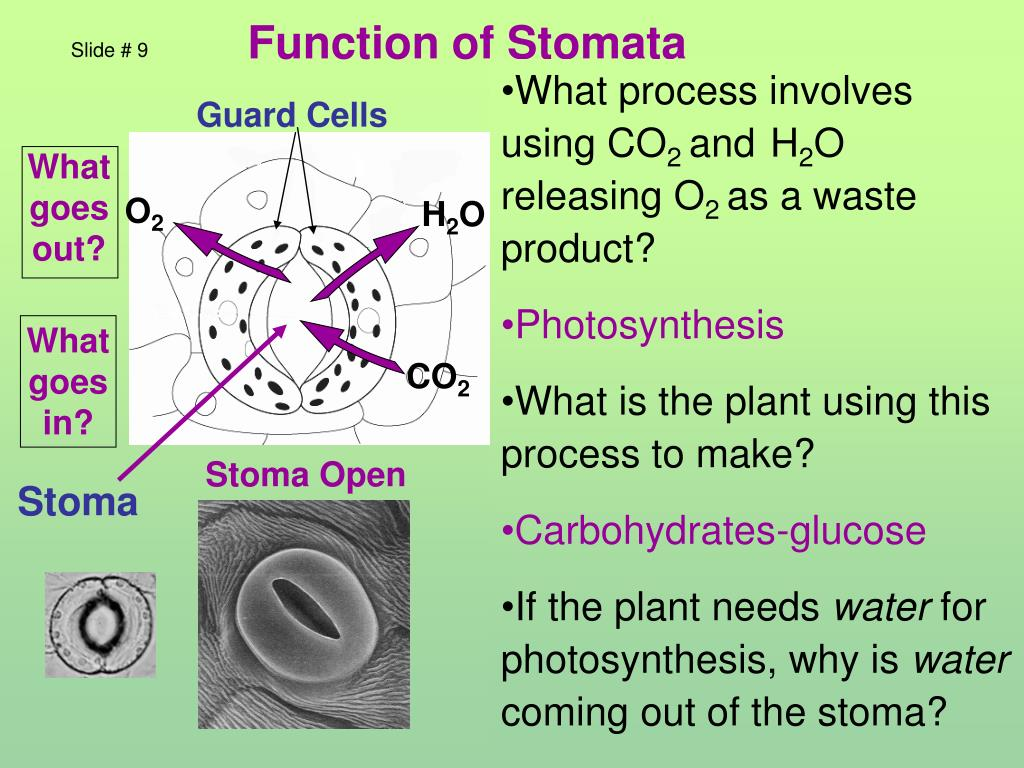 Function of Stomata