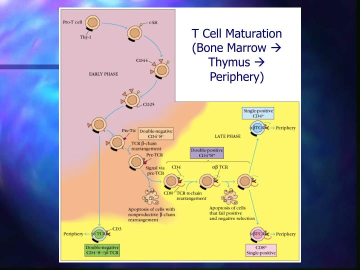 T Cell Maturation