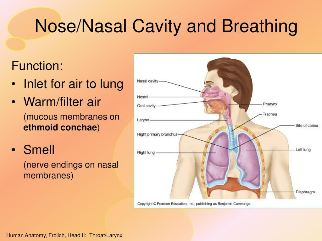 Nose/Nasal Cavity and Breathing