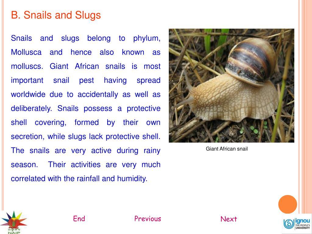 B. Snails and Slugs