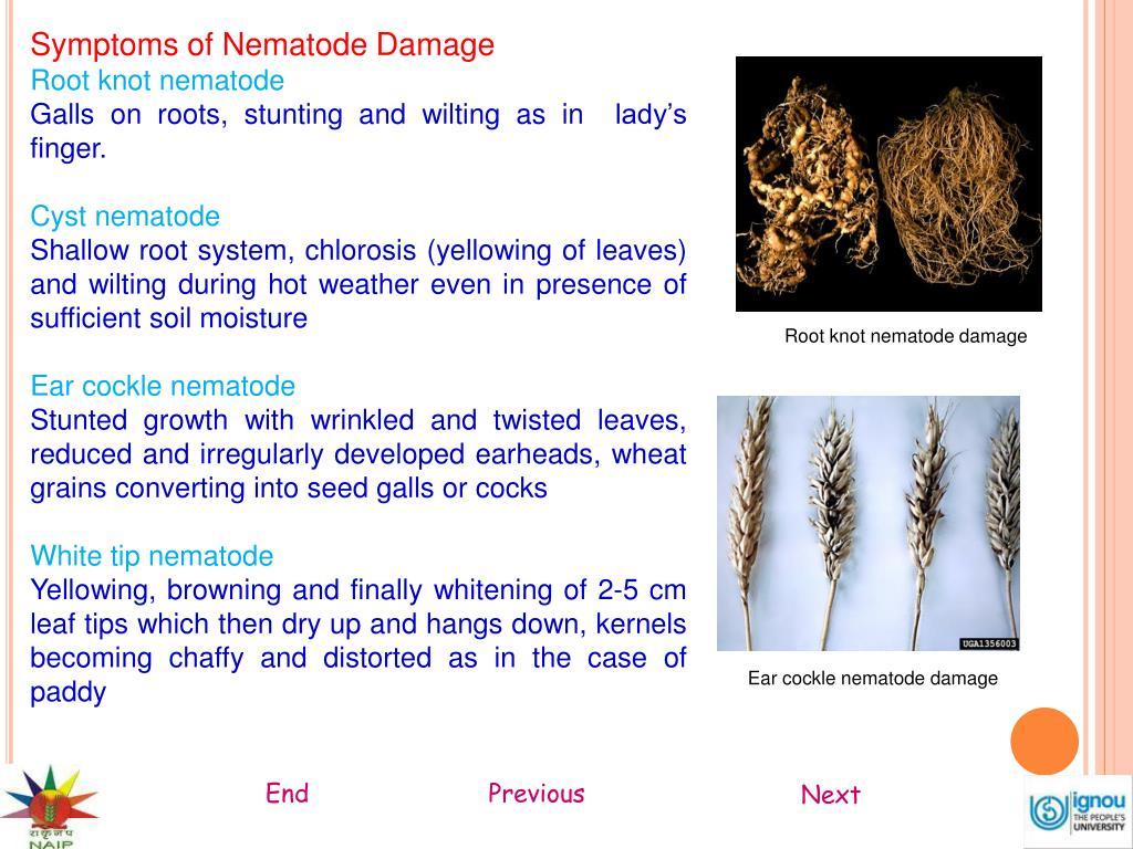 Symptoms of Nematode Damage