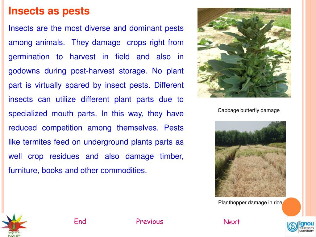 Insects as pests