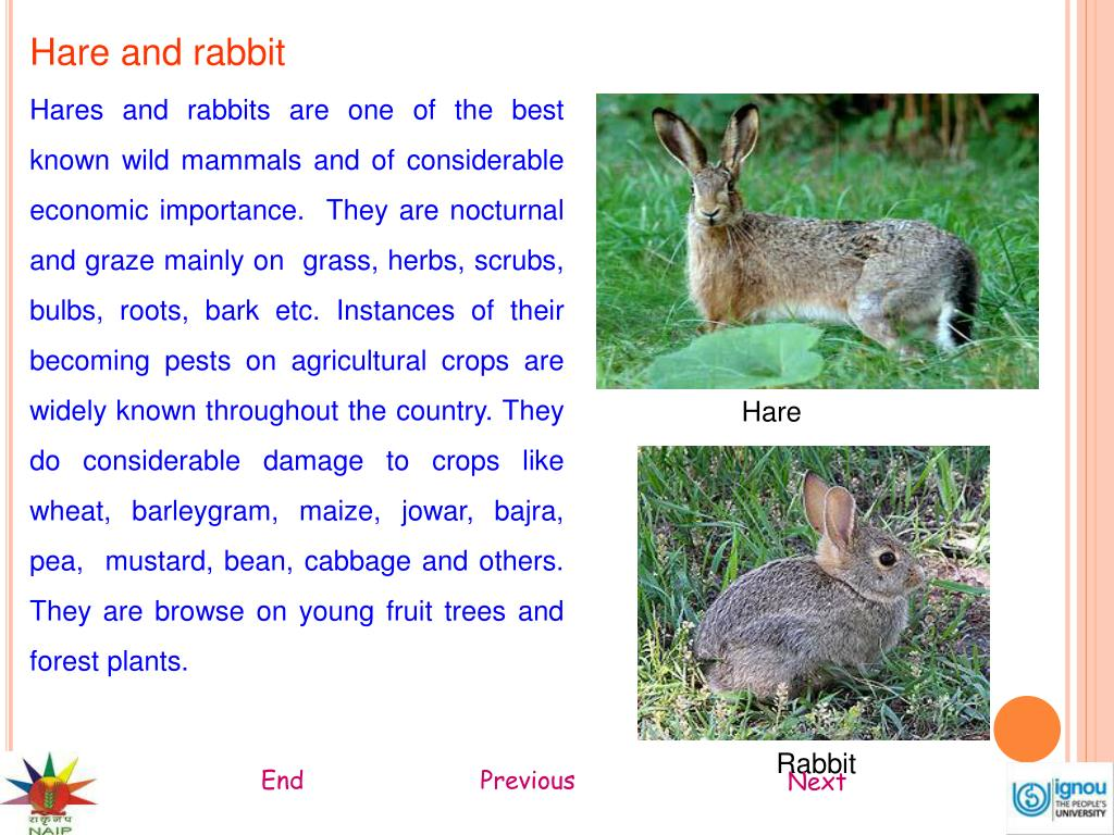 Hare and rabbit