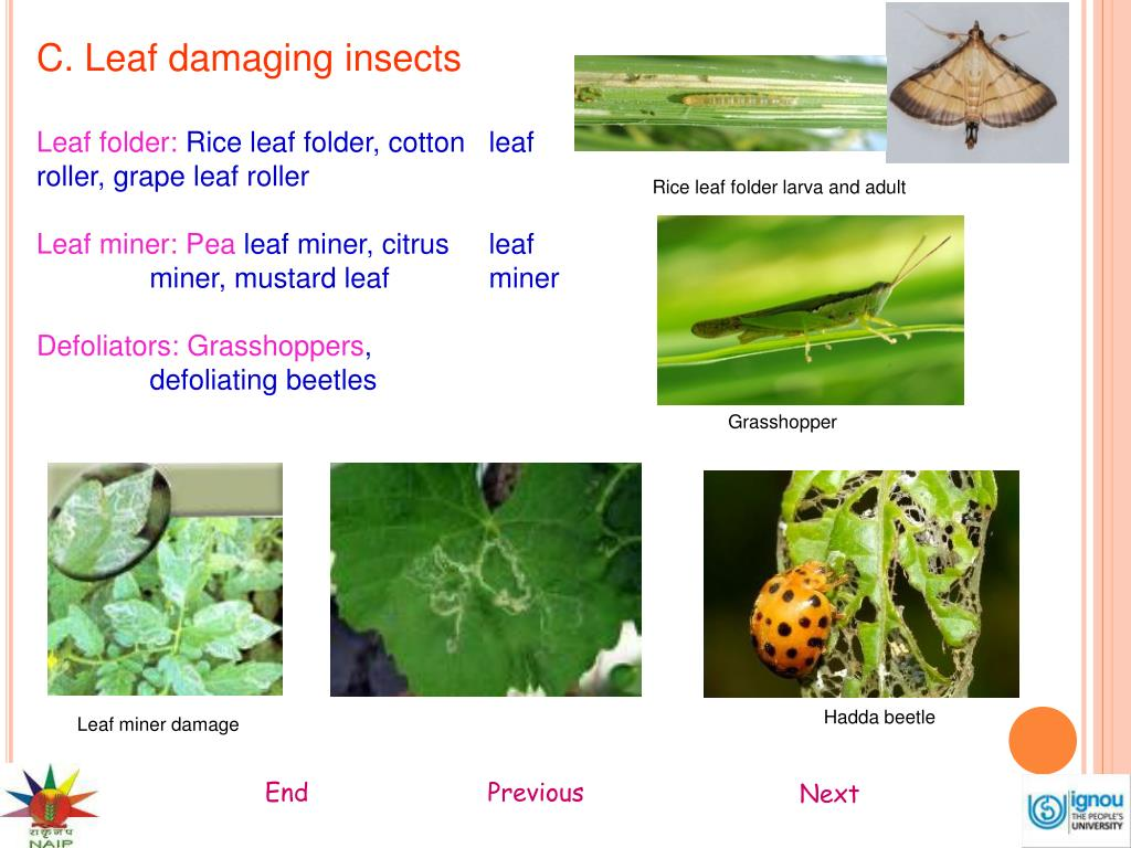 C. Leaf damaging insects