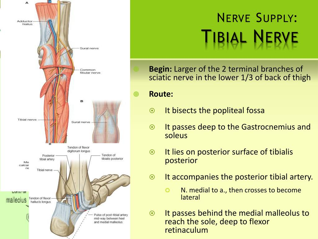 Nerve Supply: