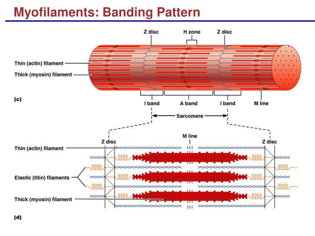 Myofilaments: Banding Pattern