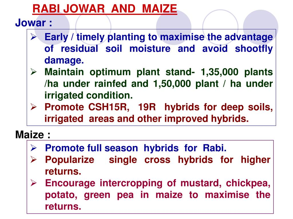 RABI JOWAR  AND  MAIZE