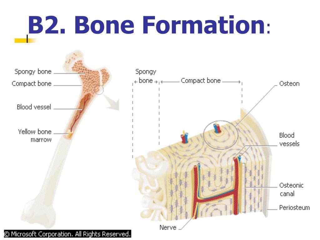 B2. Bone Formation
