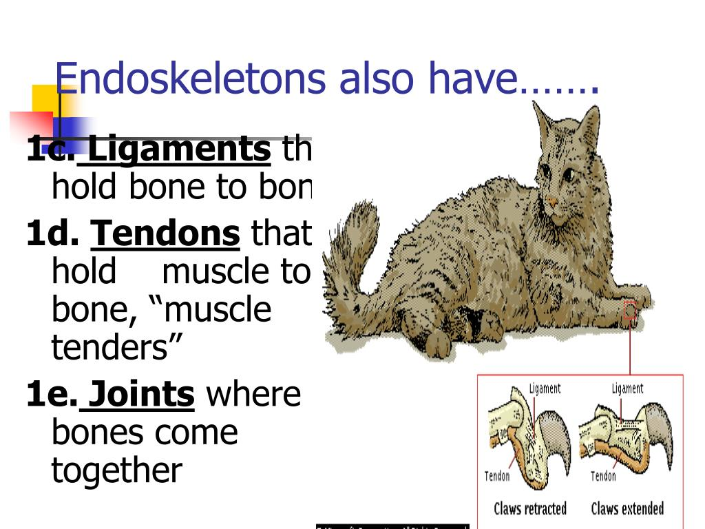 Endoskeletons also have…….