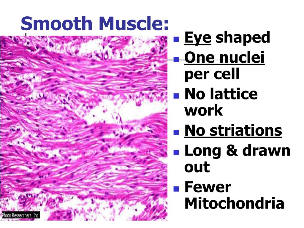 Smooth Muscle:
