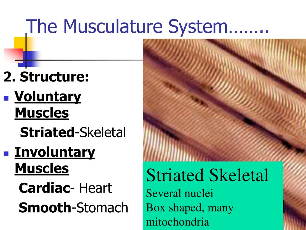 The Musculature System……..