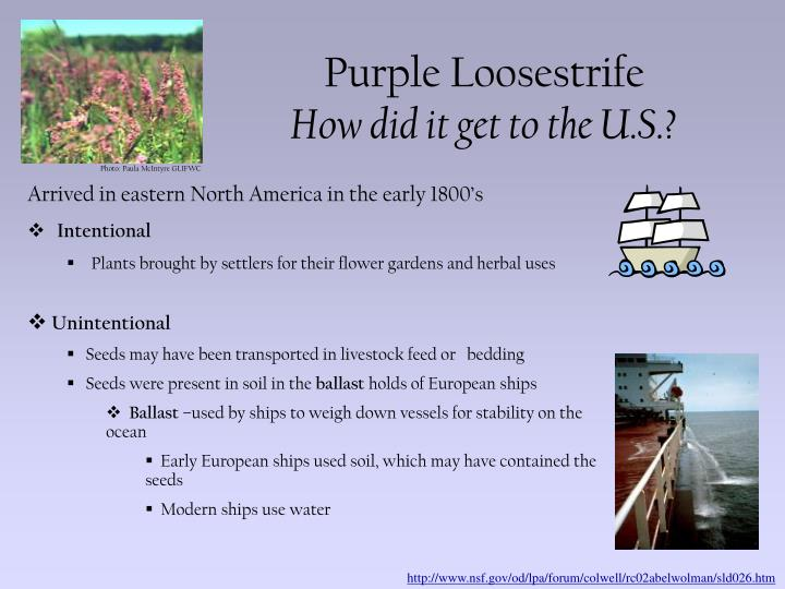 Purple loosestrife how did it get to the u s