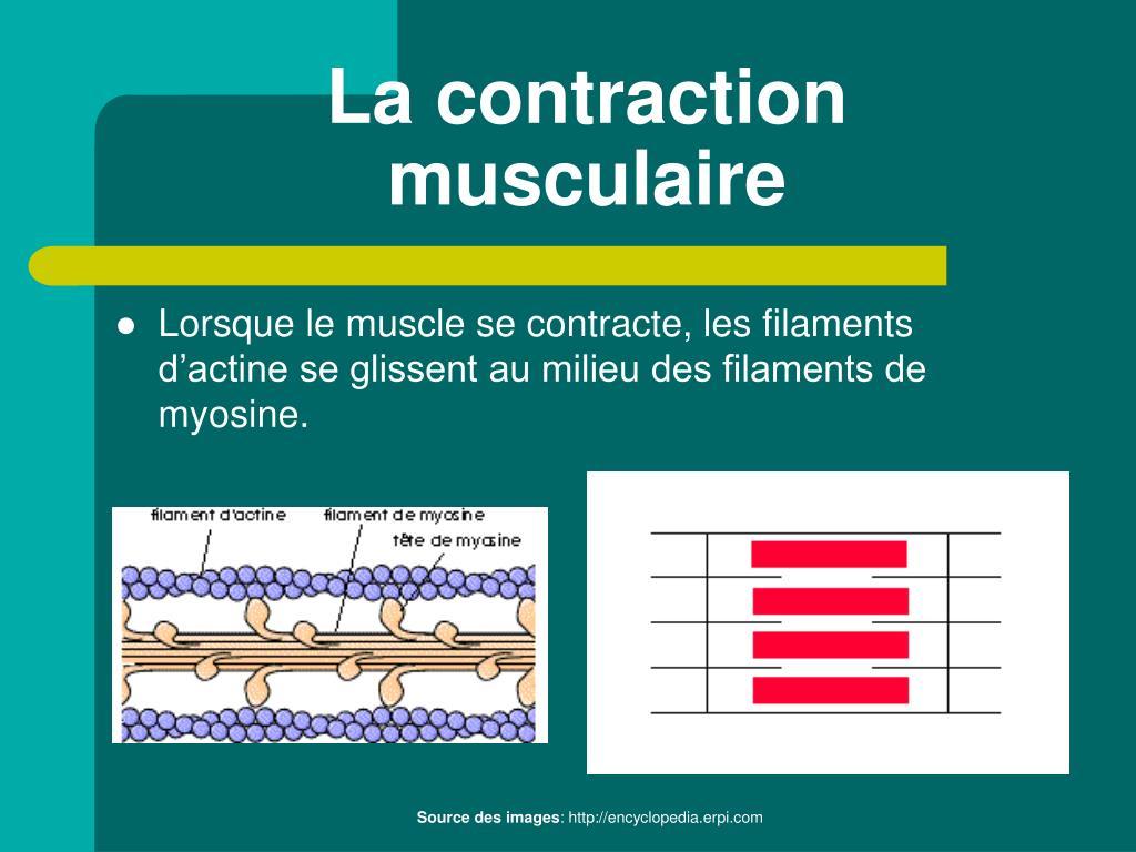 La contraction musculaire
