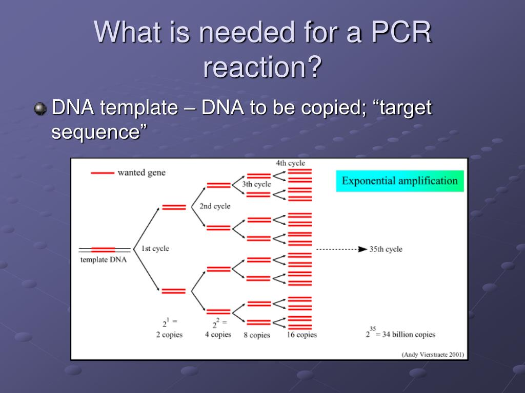 scientific paper on polymerase chain reaction Paper clip pcr v1 • 2 next, introduce students to the technique of pcr (polymerase chain reaction) pcr is a method used in the lab to make many copies of a specific piece of dna that we want to study.