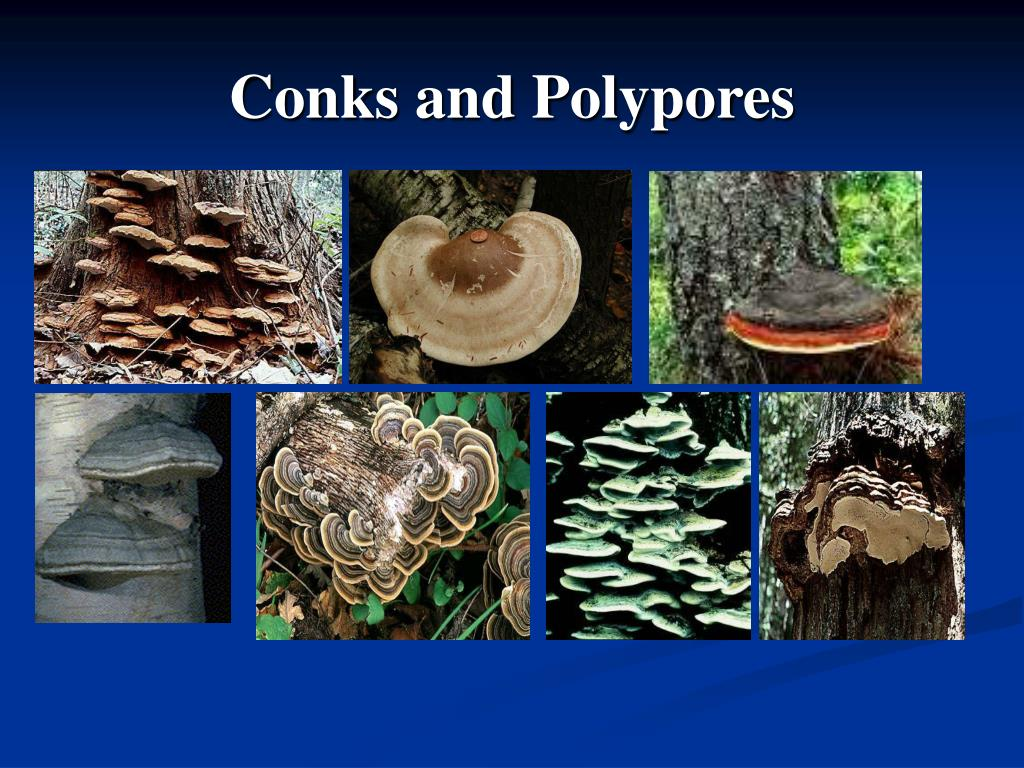 Conks and Polypores